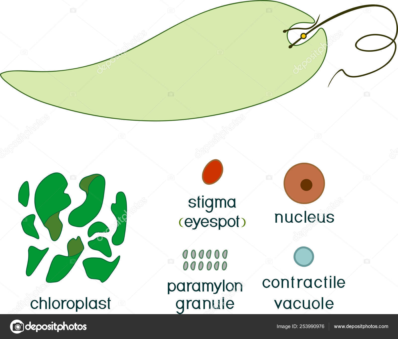 hight resolution of educational game assembling euglena viridis ready made components form stickers vector de stock
