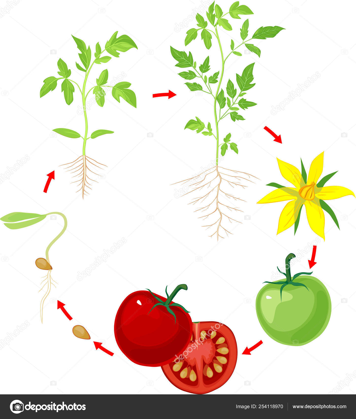 Life Cycle Tomato Plant Stages Growth Seed Sprout Adult