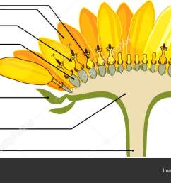 structure of flower of sunflower in cross section diagram of flower head or pseudanthium parts of sunflower with titles vector by  [ 1600 x 737 Pixel ]