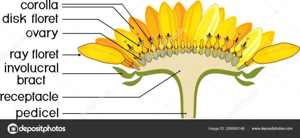 medium resolution of structure of flower of sunflower in cross section diagram of flower head or pseudanthium parts of sunflower with titles vector by