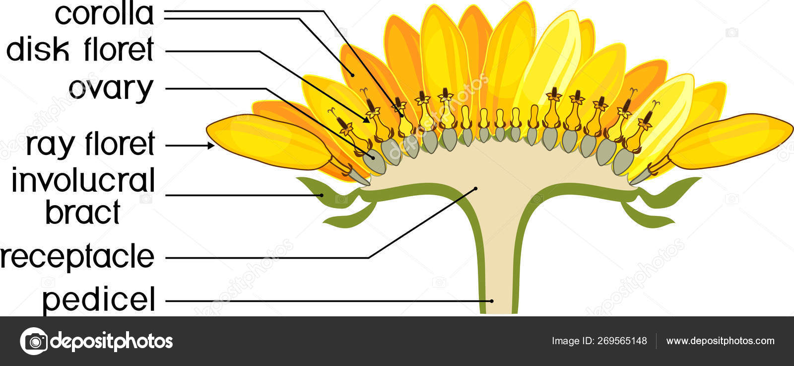 hight resolution of structure of flower of sunflower in cross section diagram of flower head or pseudanthium parts of sunflower with titles vector by