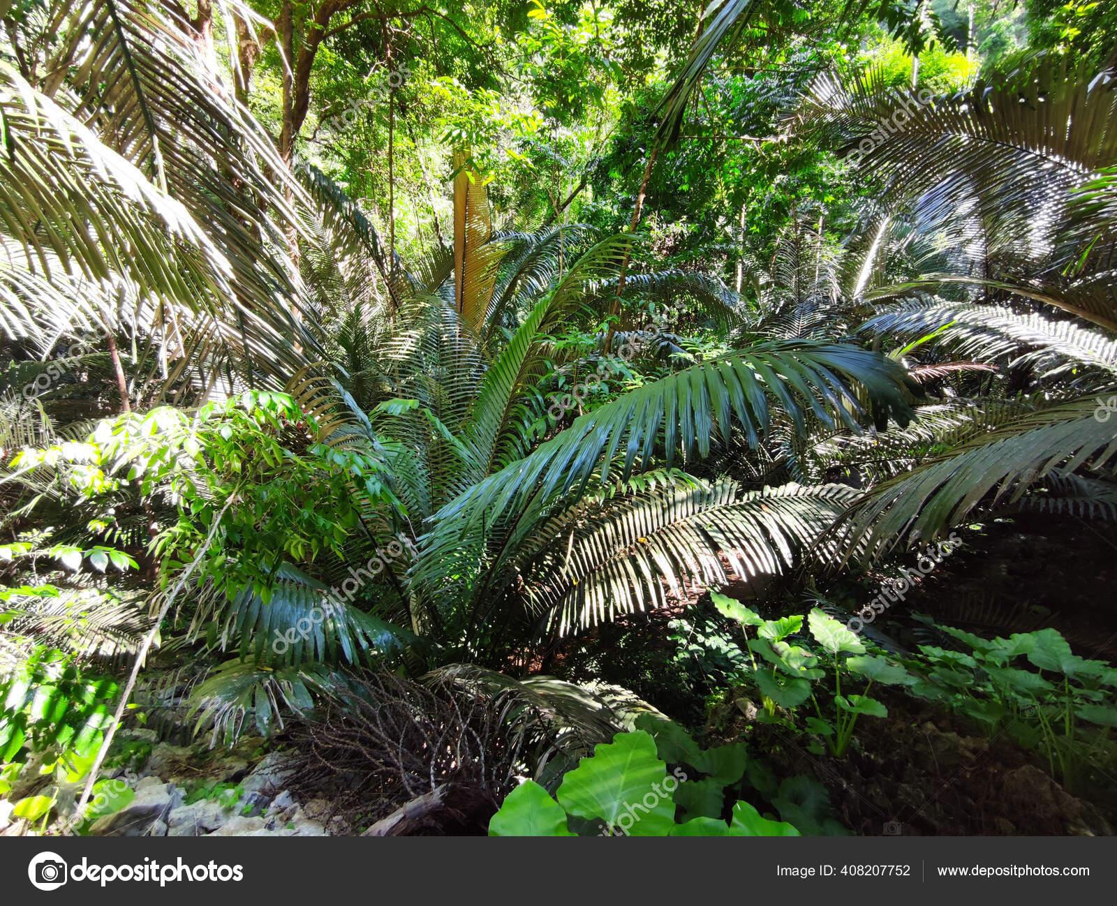 Palm Forest Background Rainy Season Sunshine Thailand Stok Foto C A3701027d 408207752