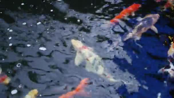 koi fish swim in
