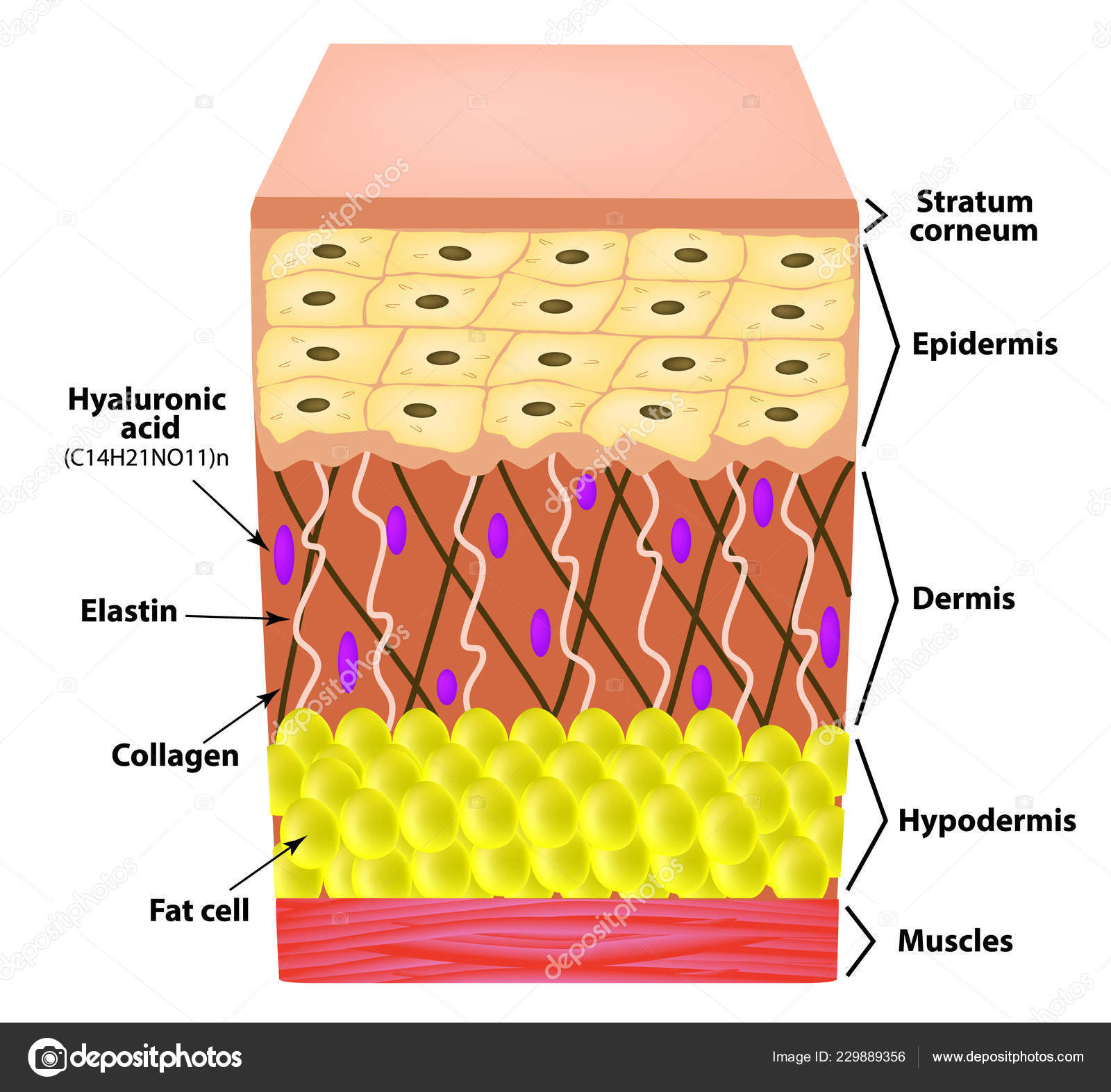 hight resolution of anatomical structure of the skin elastin hyaluronic acid collagen infographics causes of wrinkles on the skin vector illustration on isolated