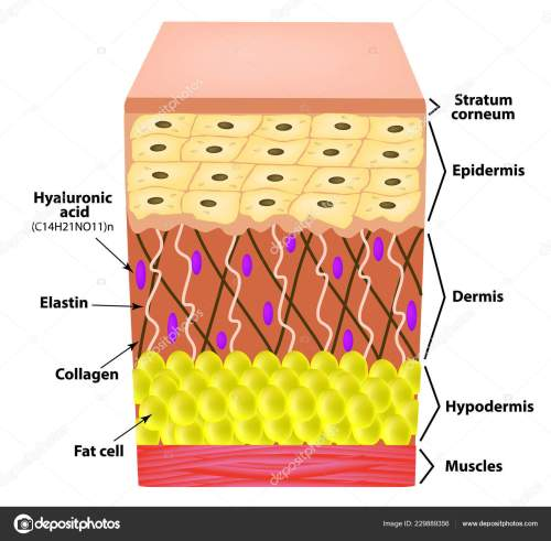 small resolution of anatomical structure of the skin elastin hyaluronic acid collagen infographics causes of wrinkles on the skin vector illustration on isolated