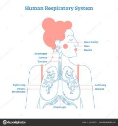 human respiratory system anatomical line style artistic vector illustration medical education cross section diagram with esophagus larynx trachea  [ 1600 x 1700 Pixel ]