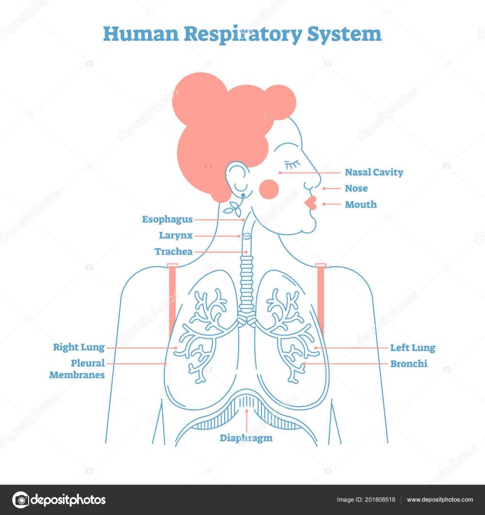 medium resolution of human respiratory system anatomical line style artistic vector illustration medical education cross section diagram with esophagus larynx trachea