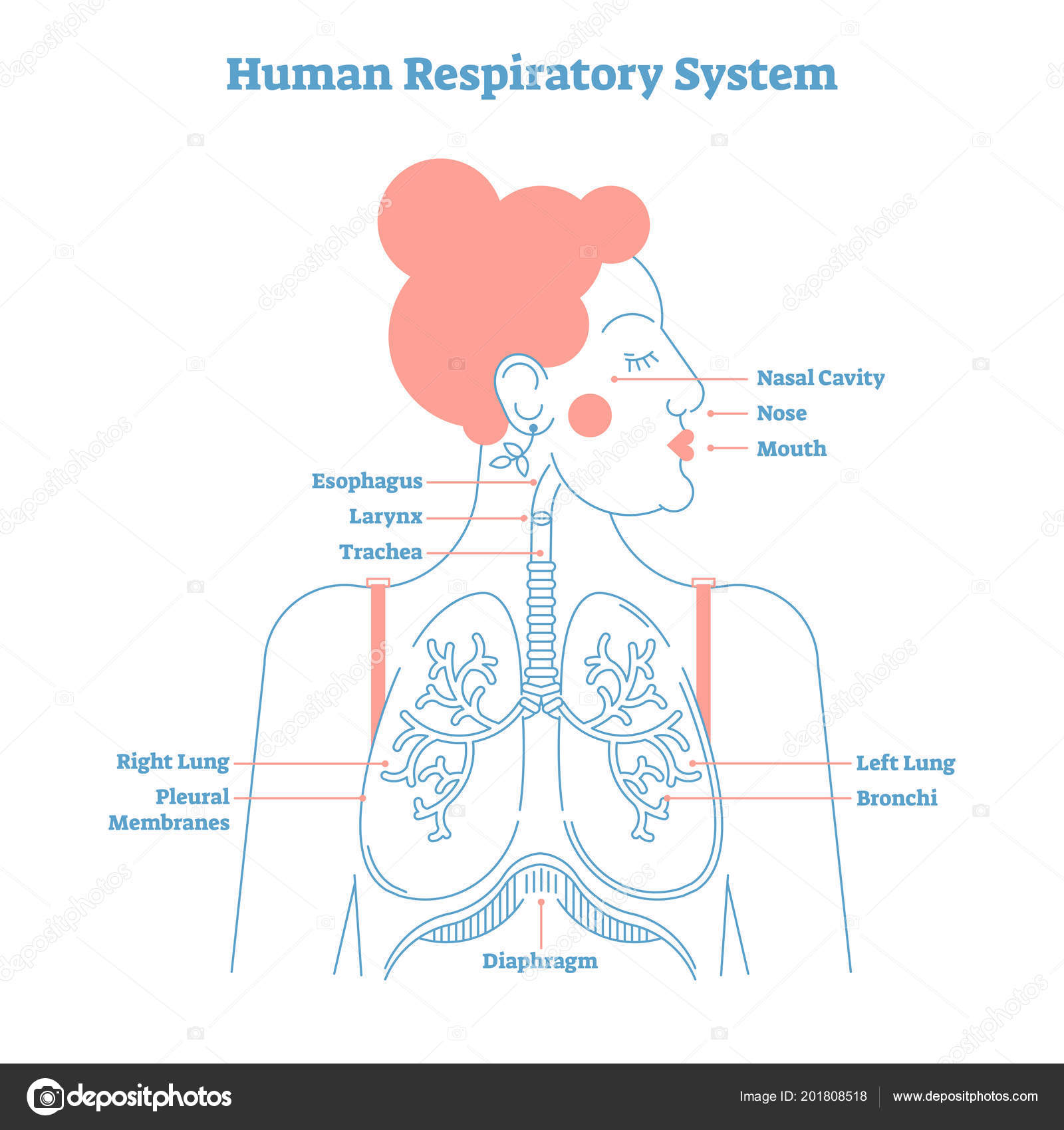 hight resolution of human respiratory system anatomical line style artistic vector illustration medical education cross section diagram with esophagus larynx trachea