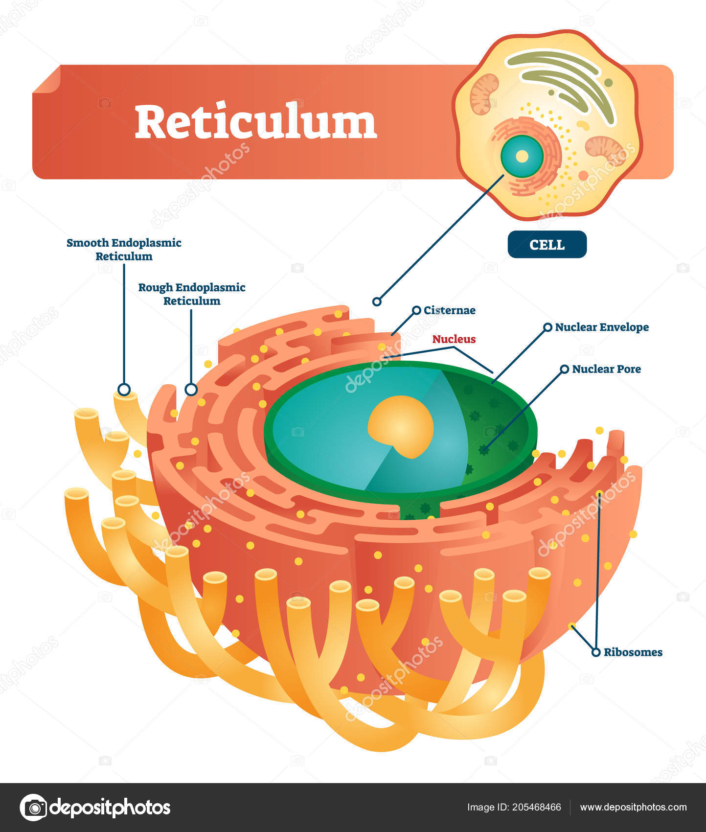 hight resolution of anatomical diagram with smooth and rough endoplasmic reticulum closeup with cisternae nucleus ribosomes nuclear envelope pore and anatomical structure