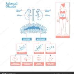 Endocrine System Diagram Wiring For Seymour Duncan Pickups Adrenal Glands Of Medical Science Vector Illustration Stock