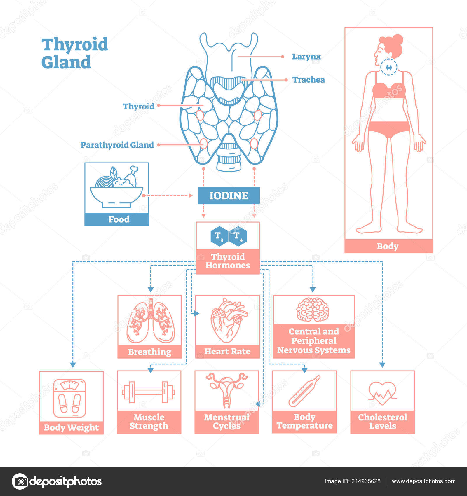 hight resolution of medical science vector illustration diagram biological scheme with iodine thyroid hormones t3 and t4 affecting vector by