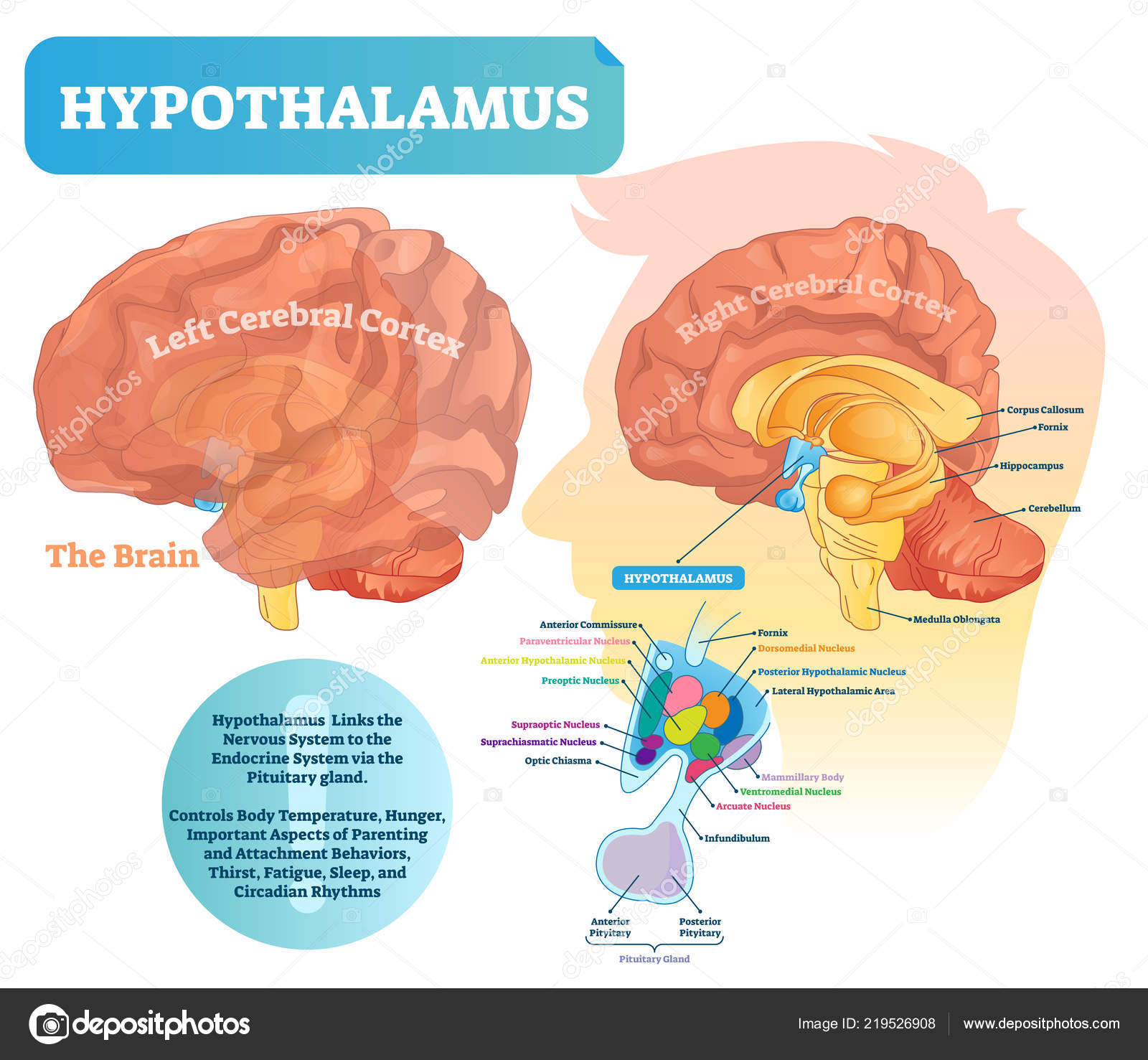 hight resolution of hypothalamus vector illustration labeled diagram with brain part structure stock vector