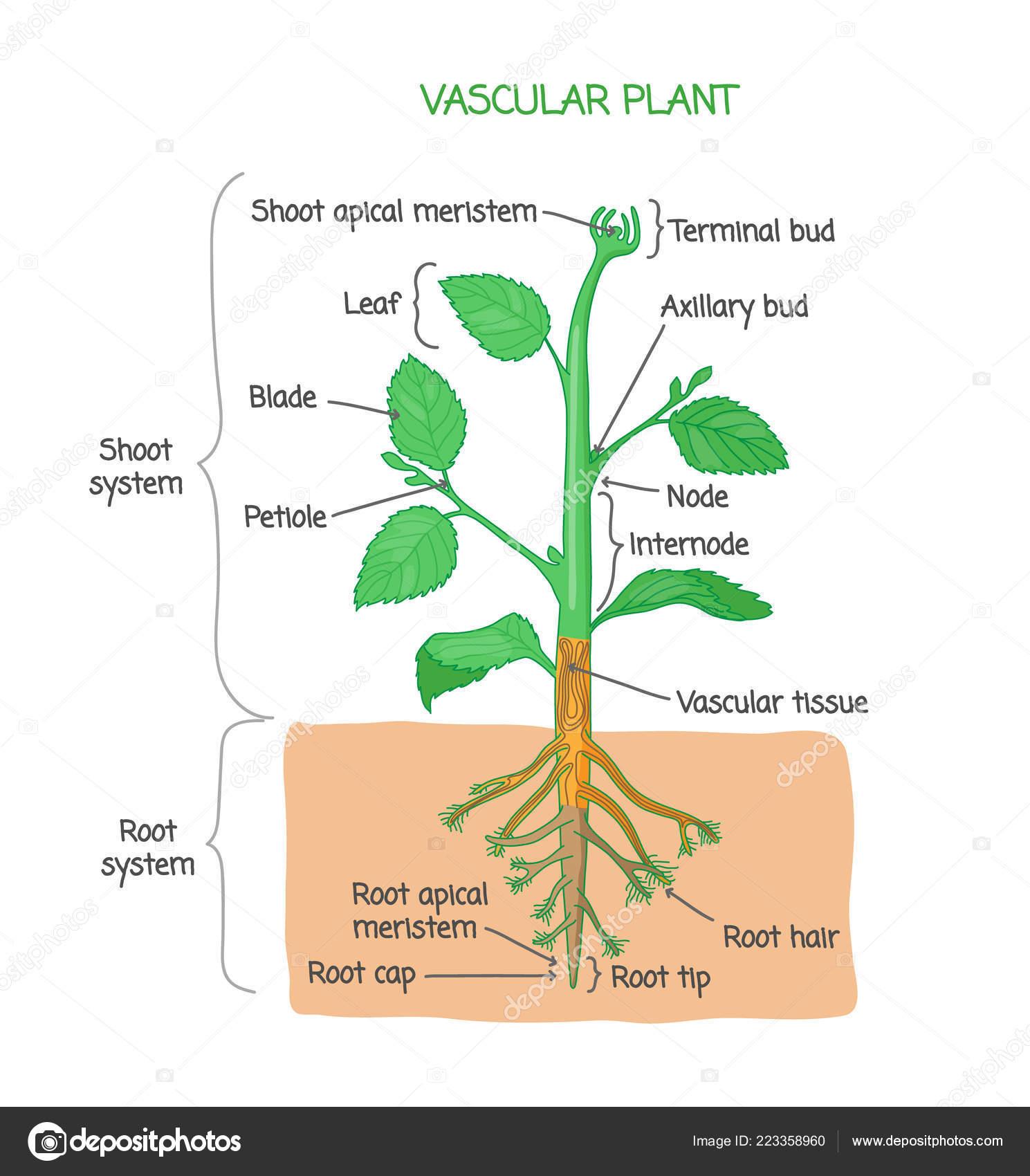 Plant Diagram Labeled Diagram