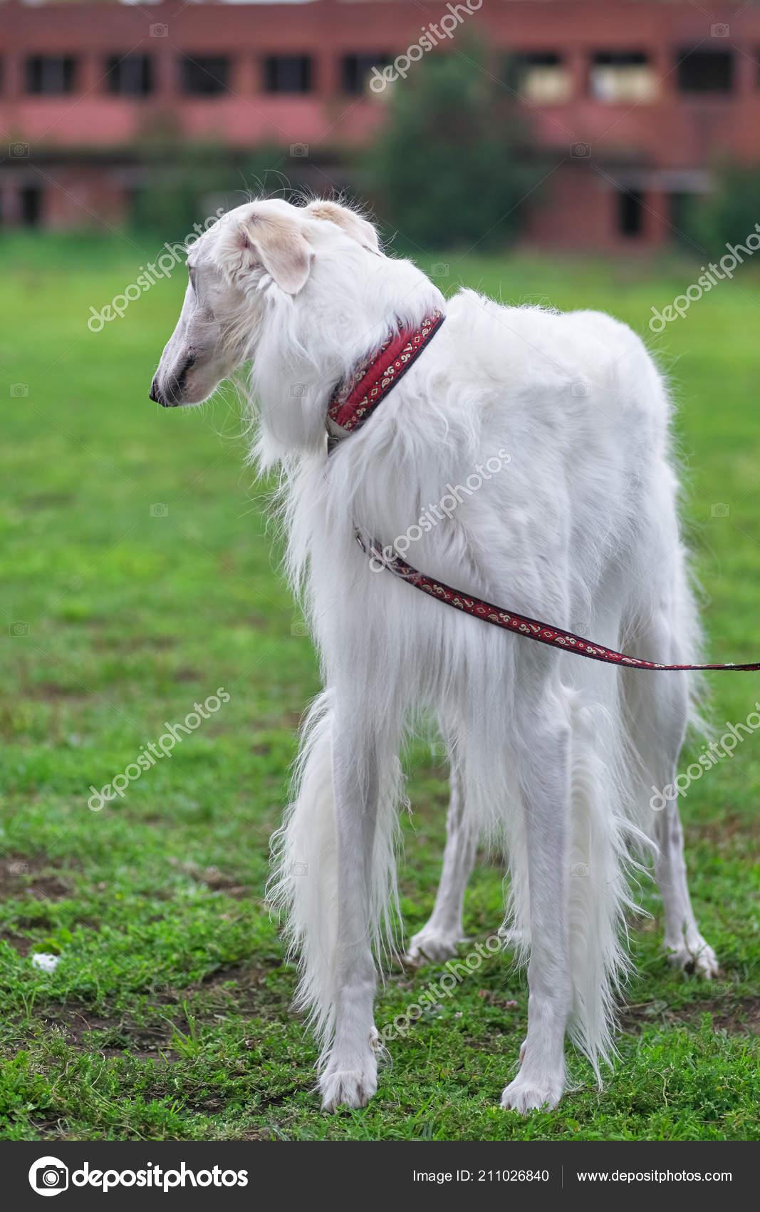 Long Haired Greyhound Dog : haired, greyhound, Greyhound, White, Close-up, Stock, Photo,, Image, Vizland, #211026840
