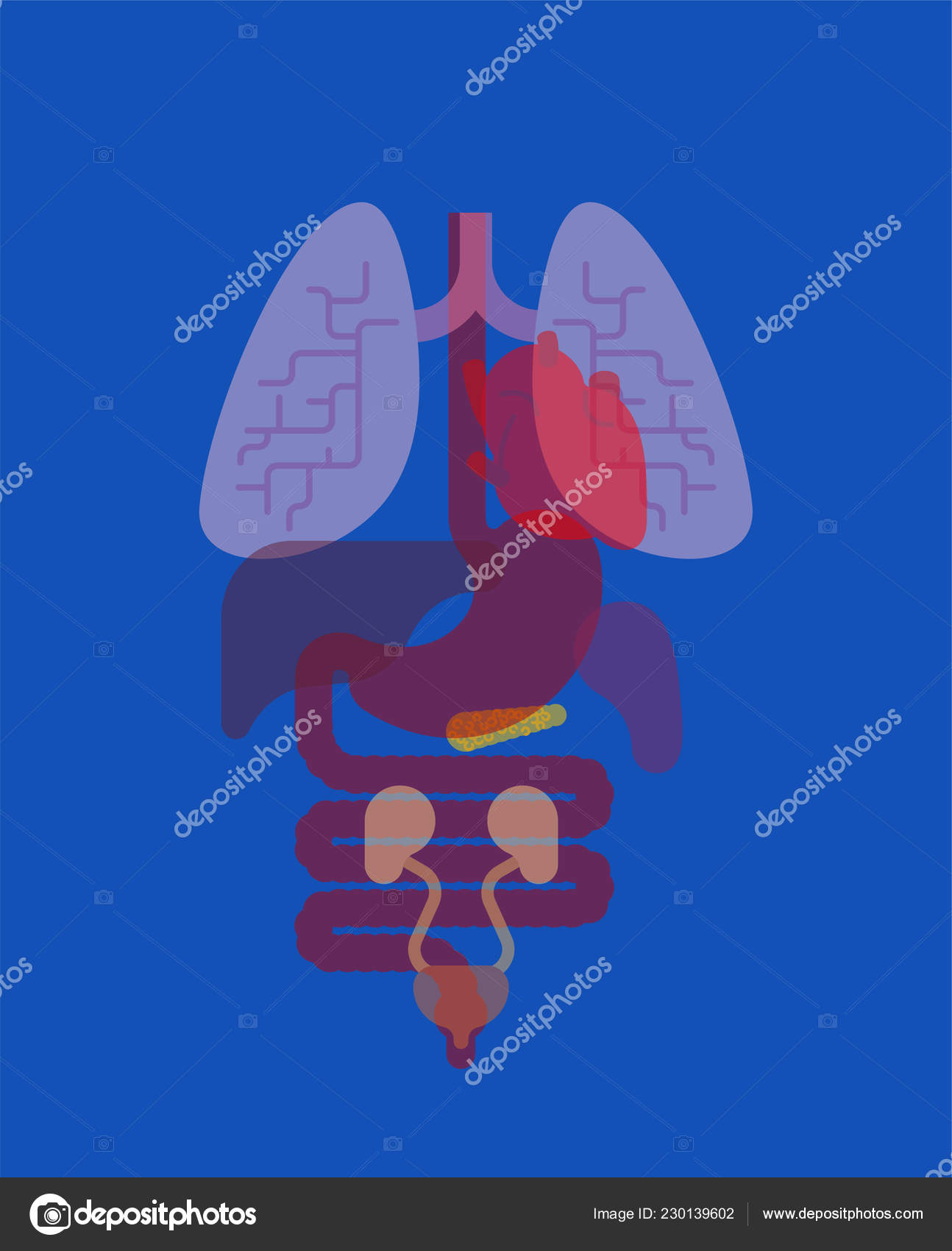 hight resolution of internal organs x ray human anatomy body heart and lungs liver and stomach esophagus and pancreas kidney and spleen vector by popaukropa