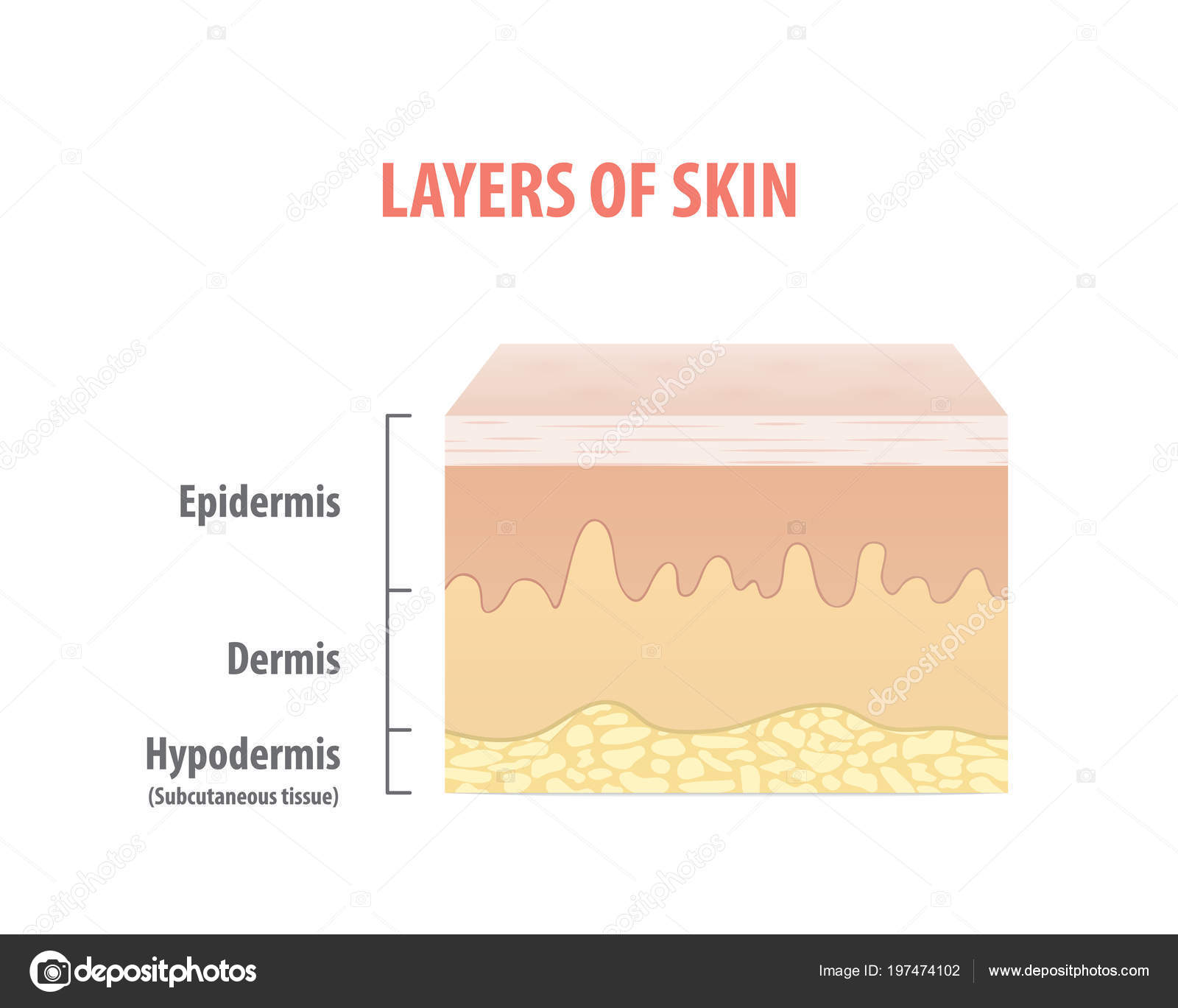 hight resolution of layers skin diagram illustration vector white background medical concept stock vector