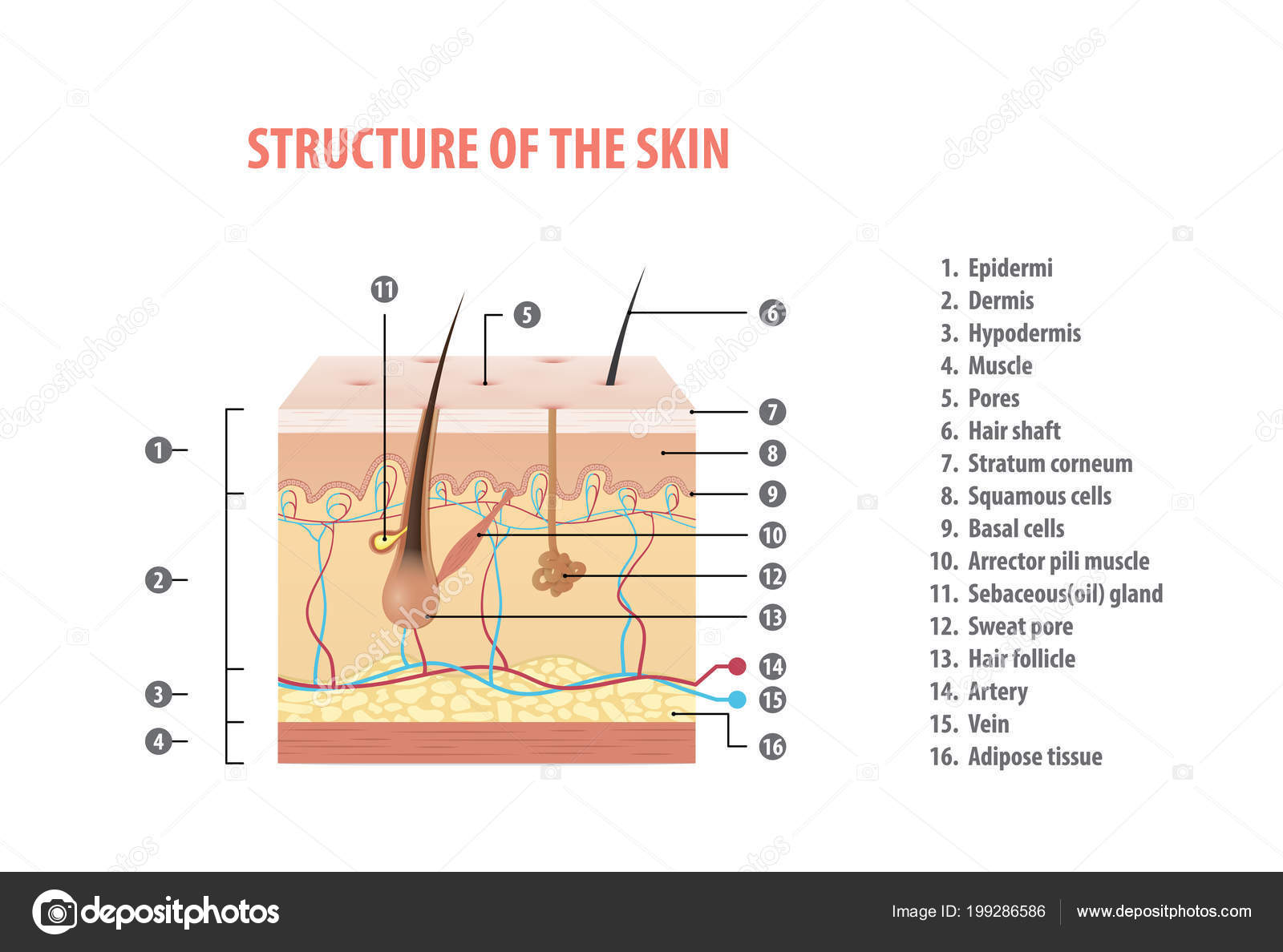Structure Skin Info Number Illustration Vector White
