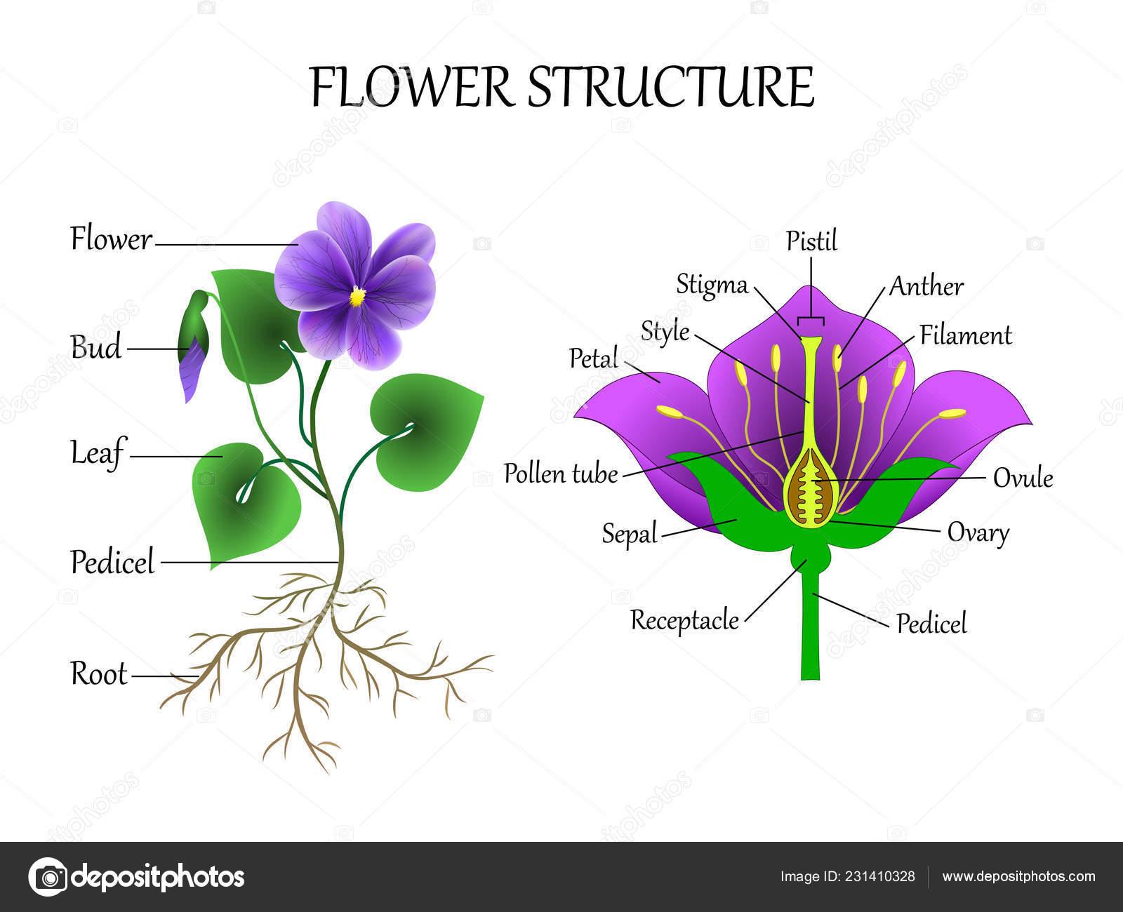 Vector Education Diagram Botany Biology Structure Flower