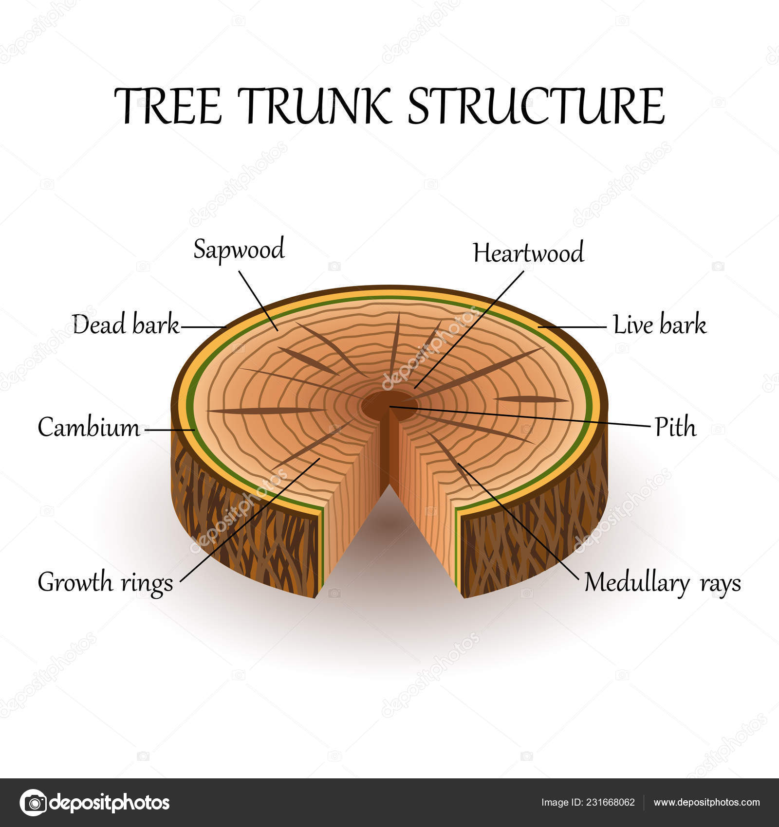 hight resolution of tree trunk diagram label wiring diagram expert tree trunk diagram label