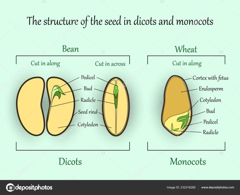 medium resolution of vector education botany banner structure monocot dicot plant seeds cut stock vector