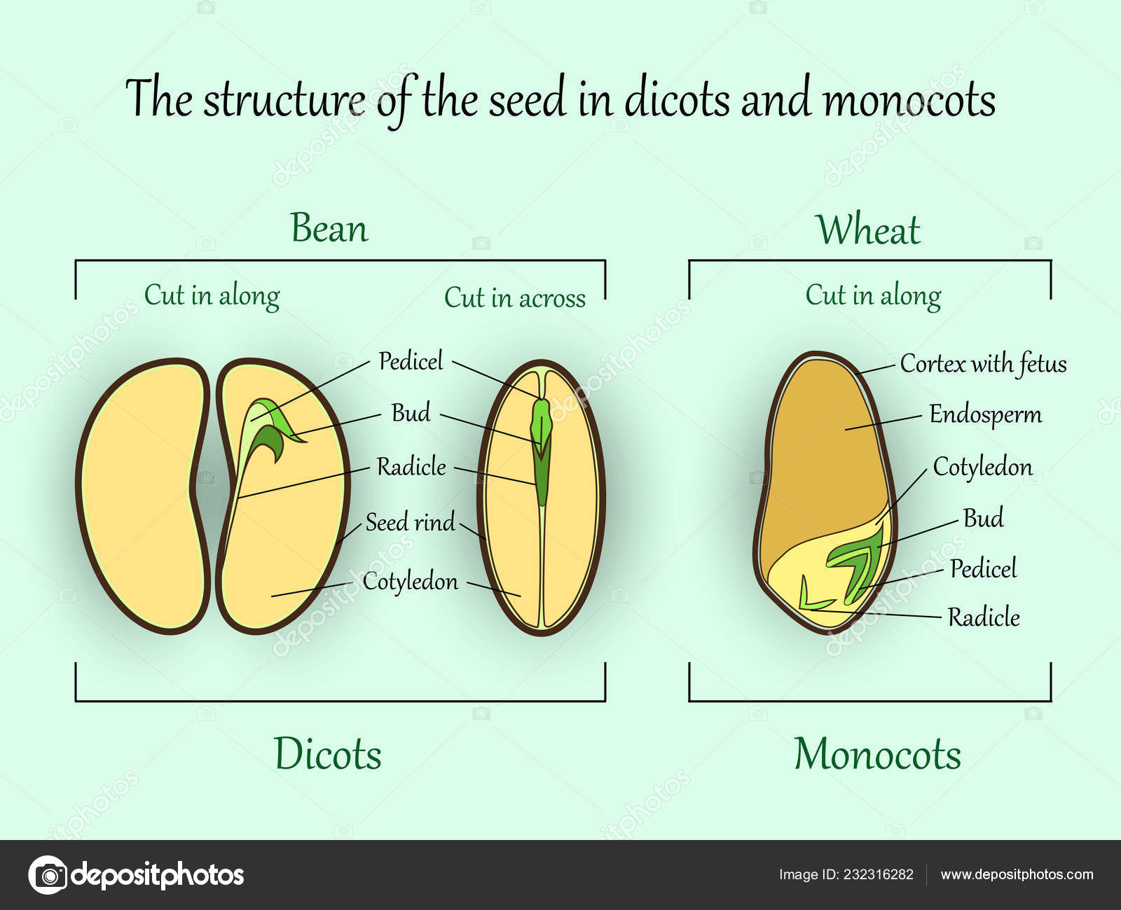 hight resolution of vector education botany banner structure monocot dicot plant seeds cut stock vector