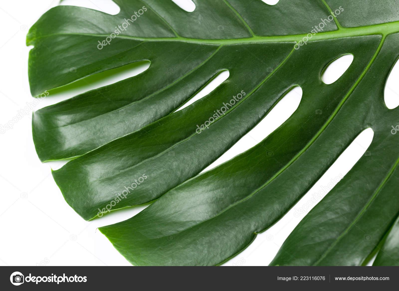 big green leaf monstera