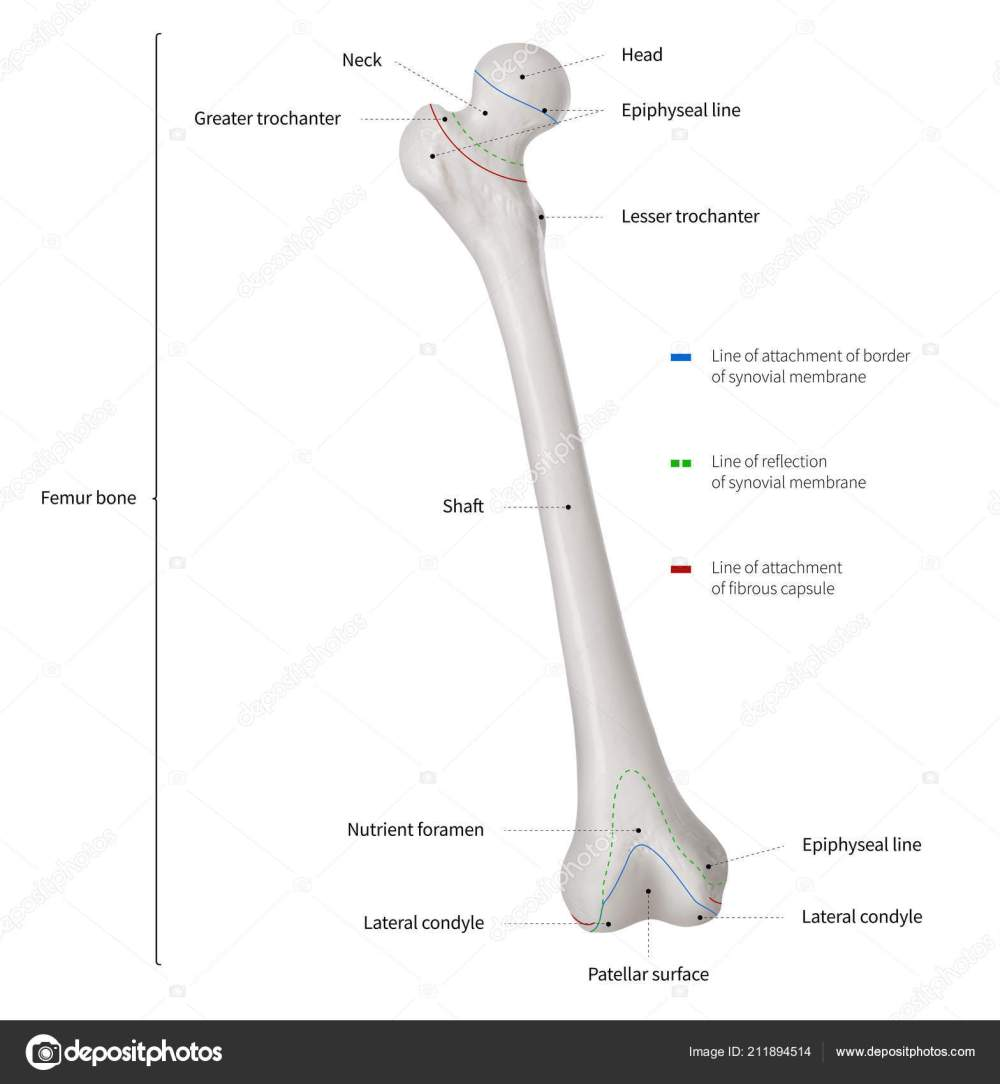medium resolution of infographic diagram human femur bone leg bone anatomy system diagram of femur tibia and fibula diagram of femur