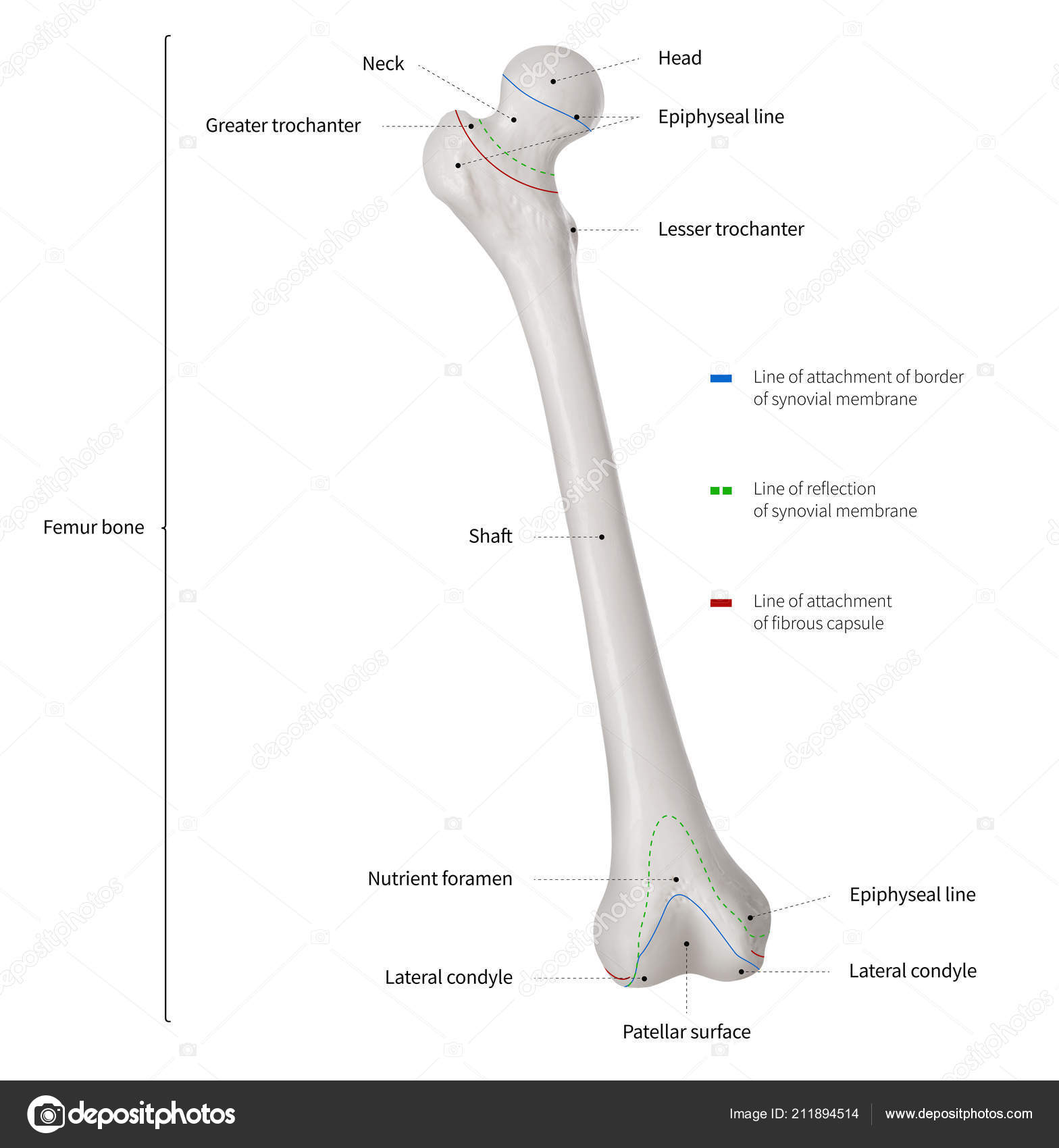 hight resolution of infographic diagram human femur bone leg bone anatomy system diagram of femur tibia and fibula diagram of femur