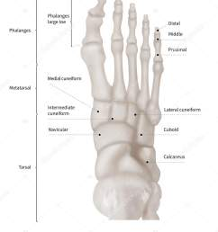 infographic diagram of human foot bone anatomy system anterior view 3d human anatomy medical diagram educational and human body concept isolated on  [ 1323 x 1700 Pixel ]