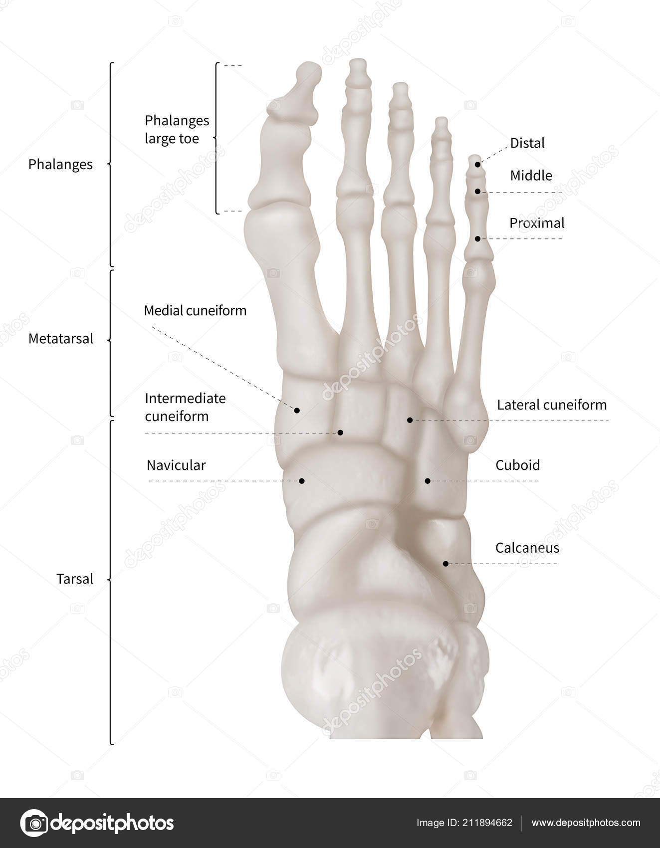 hight resolution of infographic diagram of human foot bone anatomy system anterior view 3d human anatomy medical diagram educational and human body concept isolated on