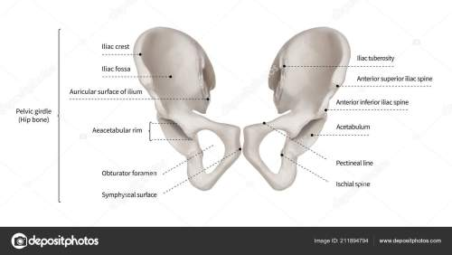 small resolution of infographic diagram human hip bone pelvic girdle anatomy system diagram showing hip bone