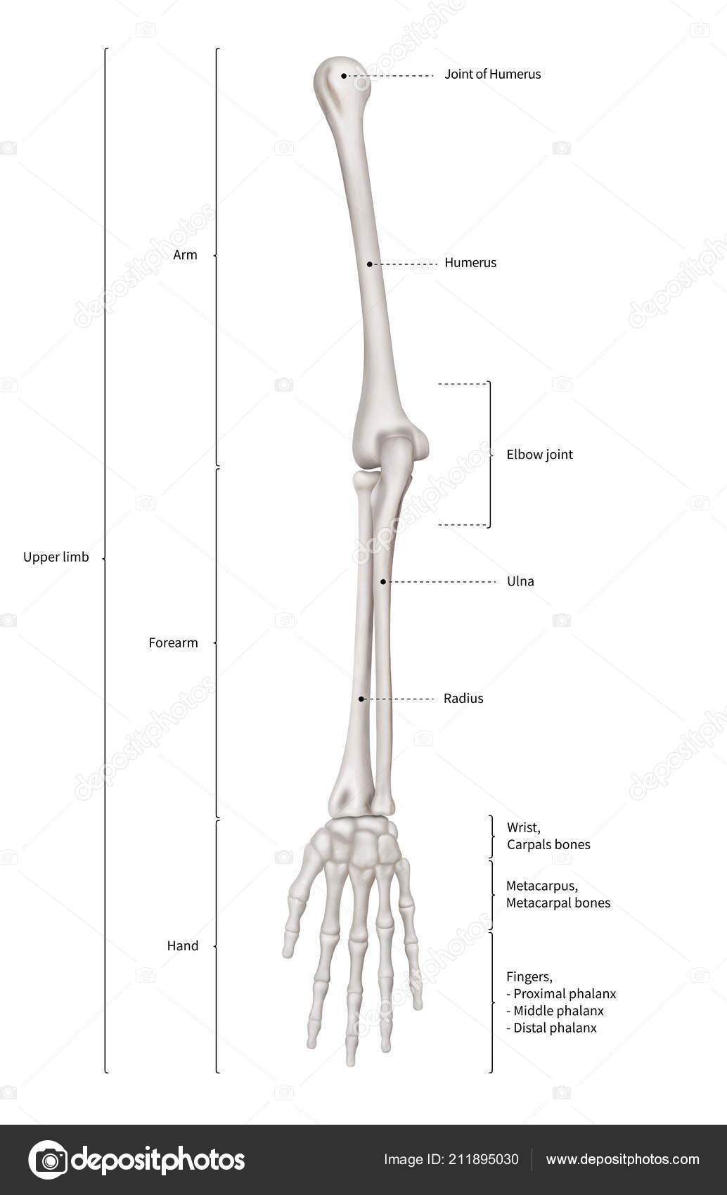 Infographic Diagram Human Skeleton Upper Limb Bone Anatomy