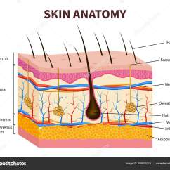 Dermis Layer Diagram Opel Vectra C Radio Wiring Epidermis Skin Schematic Human Layered With Hair Follicle Sweat And Strand Sebaceous Glands