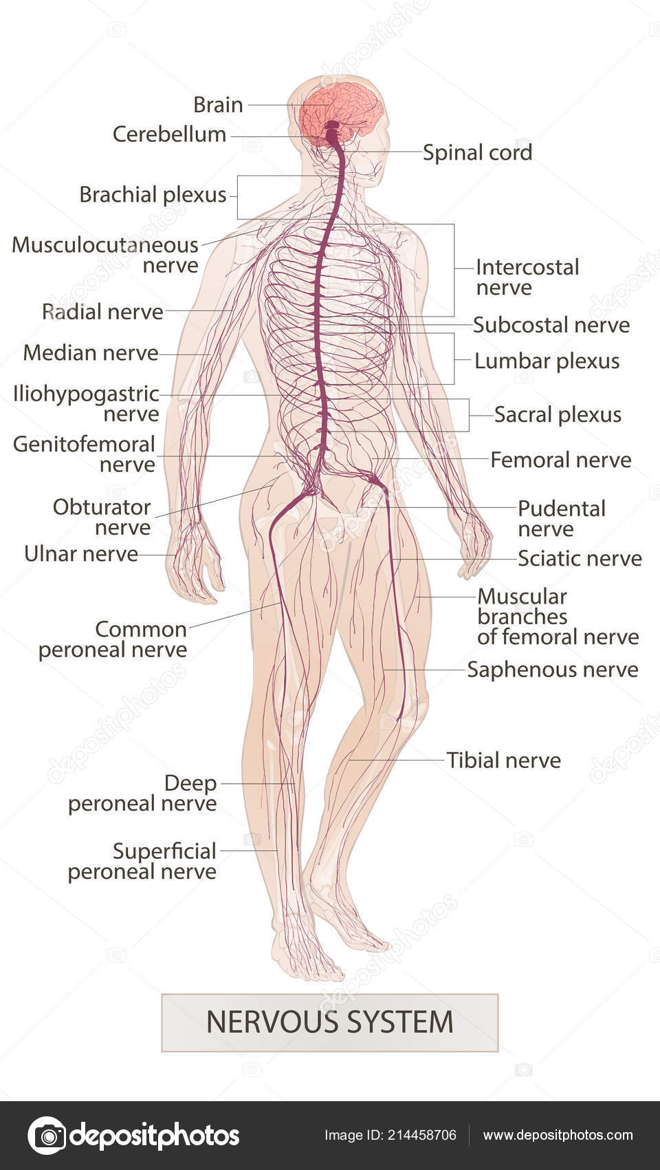 medium resolution of nervous system human body parts man anatomy hand drown vector sketch illustration isolated