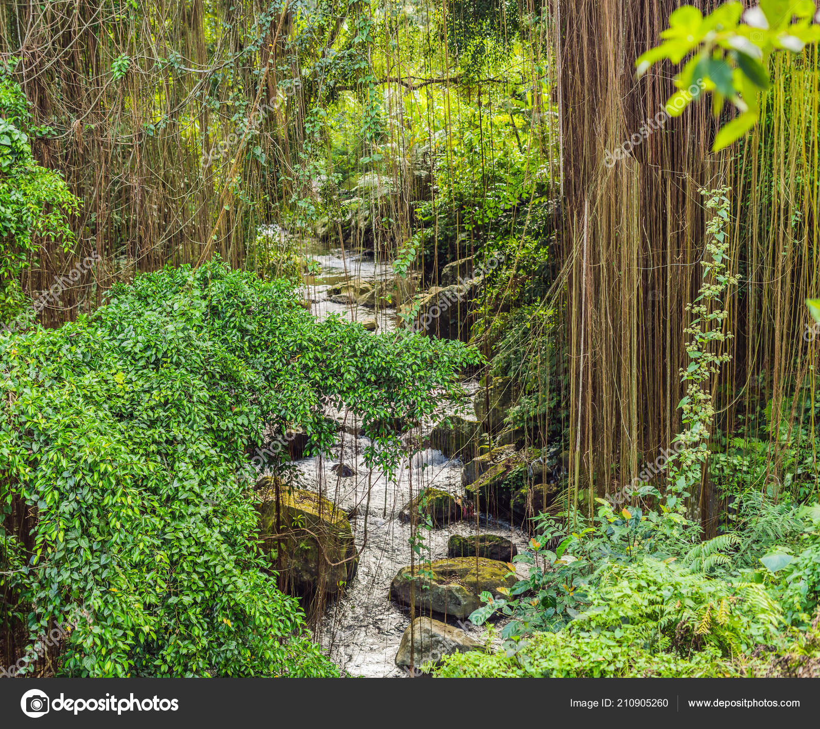 A guayacan tree with yellow flowers (stock footage) a nature background of a rainforest: Climbing Plants Trees Sunny Tropical Rain Forest River Background Stock Photo By C Galitskaya 210905260