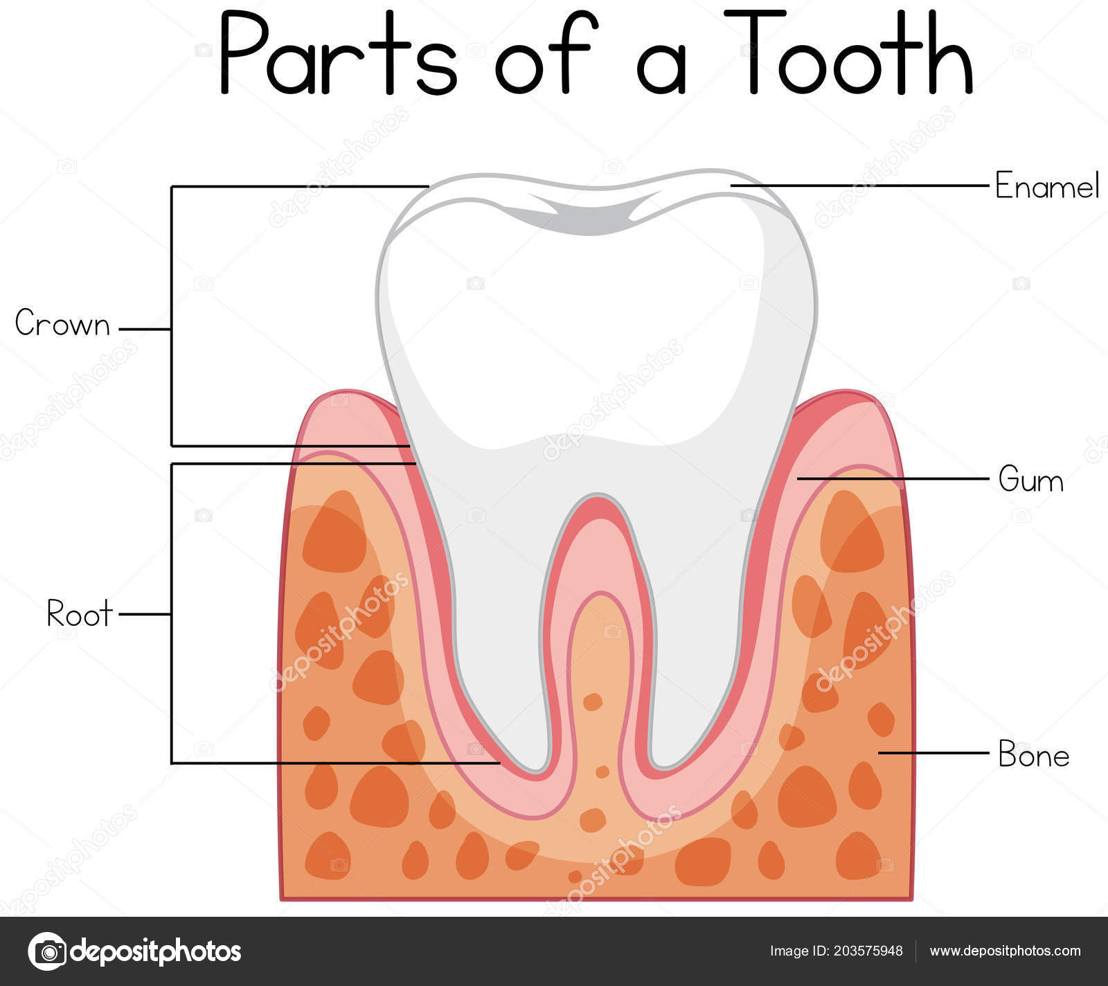 hight resolution of parts tooth diagram illustration stock vector
