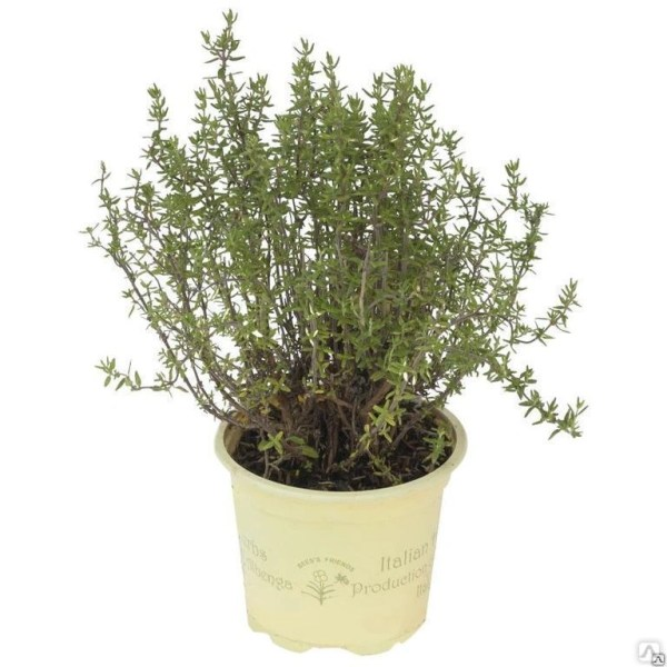 Тимьян обыкновенный Фаустини (Thymus vulgaris Faustini) С1 ...