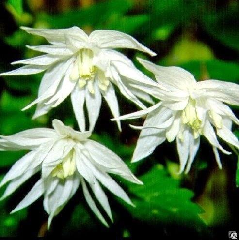 Клематис альпийский Альбина Плена  Clematis alpina Albina ...