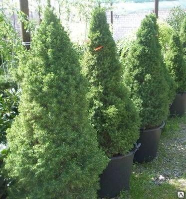 Ель глаука Коника (Picea glauca Conica), С10 50-70, цена в ...