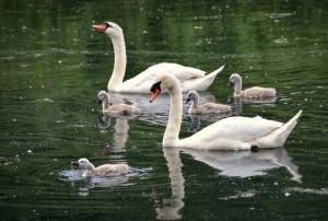 swans babies
