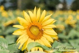 SunflowerMazeWMSM-4