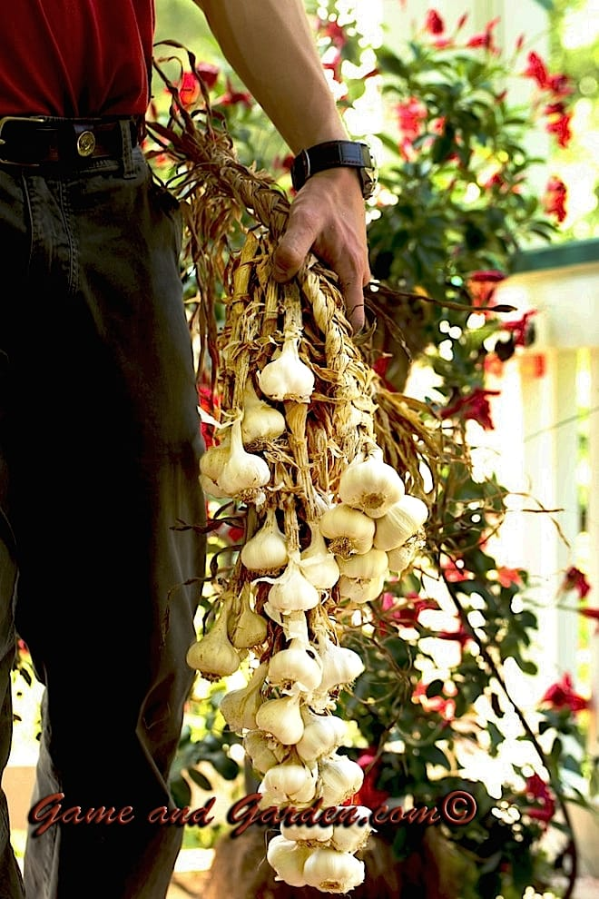 I love hanging braided fresh garlic in my kitchen. It is easy to access and beautiful! Who could ask for more?