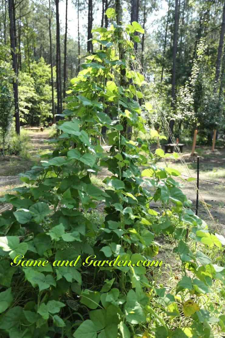 Vertical Planting Pole Beans