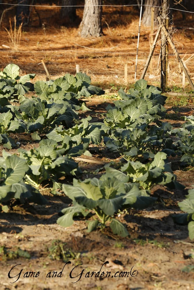 My collards are really doing great this year. The weather has been perfect for my garden. In some ways I enjoy my winter garden more than the summer one. I don't have to fight the weeds!