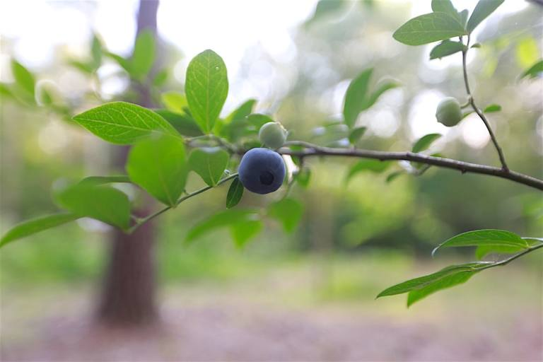 Southern horticulturist soon produced blueberries well adapted to our climate. You may recognize a few old rabbiteye favorites including Climax, Premier, Tifblue, PowderBlue, and Baldwin.
