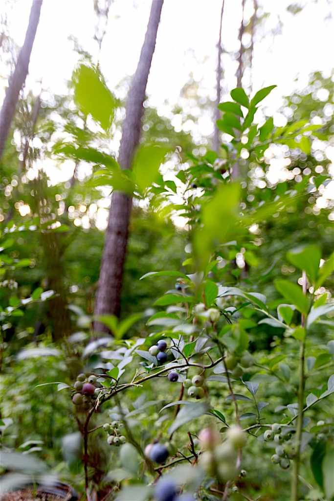 Sure, there are other forageable fruits native to our Great Land, but few as easy to pick and as bug and disease free as the wild blueberry.