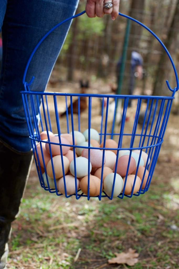 Free range eggs collected in a basket