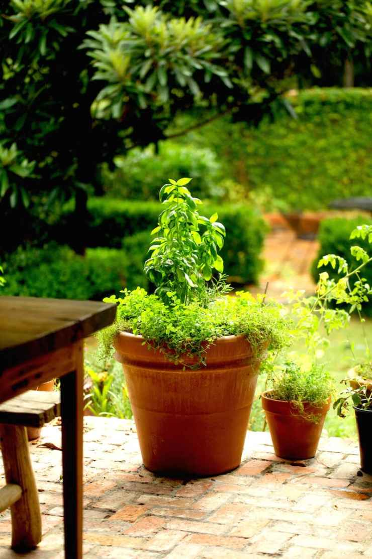 Growing herbs as a shrub in a pot on the porch