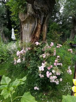 Deze afbeelding heeft een leeg alt-attribuut; de bestandsnaam is bloeiende-roos-bij-wilgenboom-1.jpg