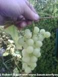 Fundstück. Heute beim Zurückschneiden der Weinstöcke entdeckt. Noch bevor sich die erste Amsel darüber hermachen konnte. :-)